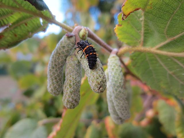 Larva slunéčka sedmitečného